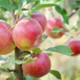 Reasons to Grow an Apple Tree (or 2)
