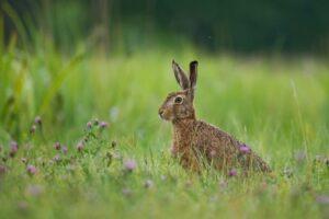 brown hare - wigan-wildlife-watch