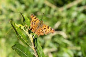 comma butterfly - wigan-wildlife-watch