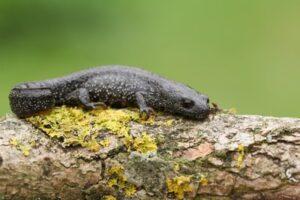 great crested newt - wigan-wildlife-watch
