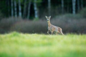 roe deer - wigan-wildlife-watch
