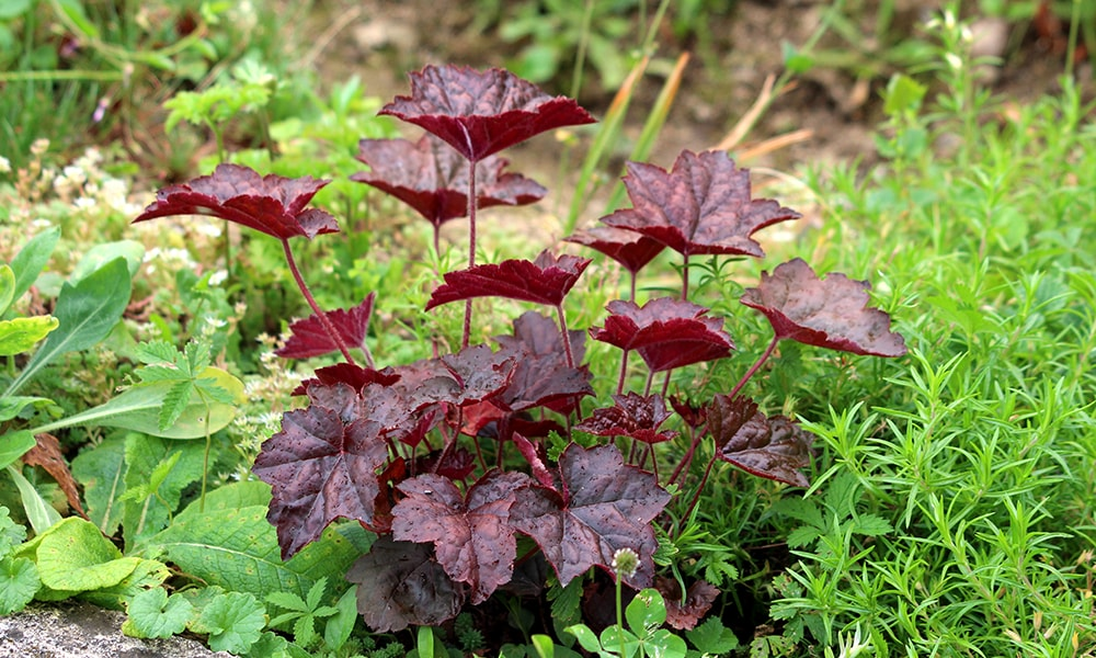 shaded plant - coralbell