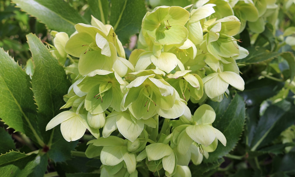 shaded plant - hellebore