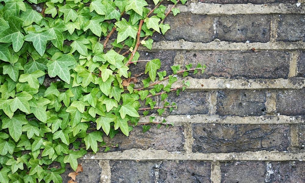 shaded plant - ivy