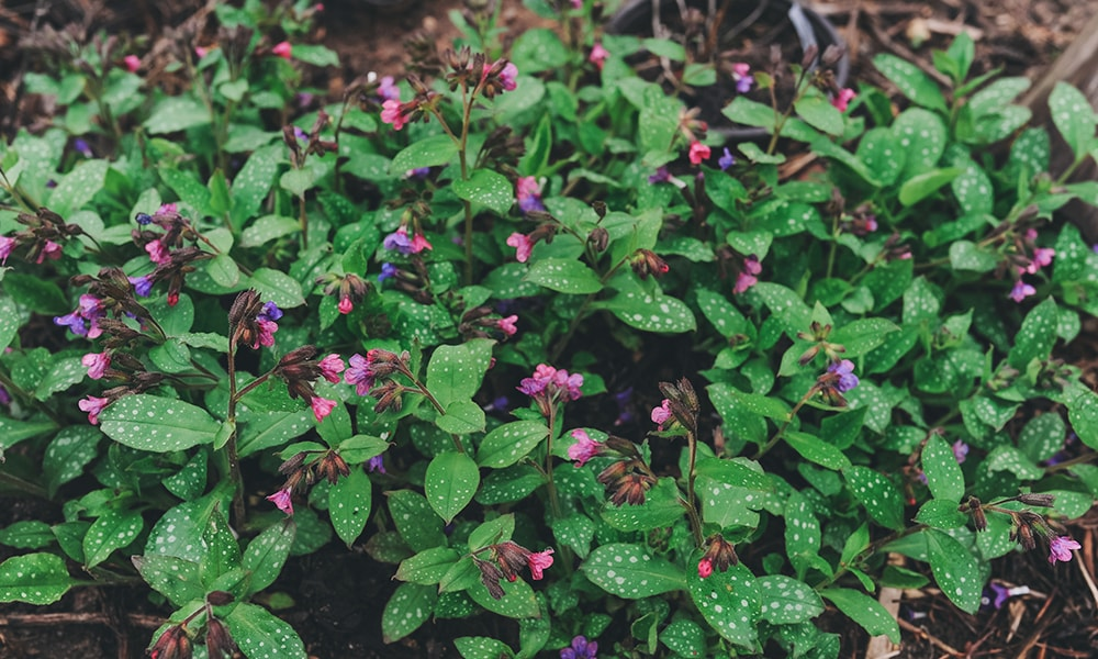 shaded plant - lungwort