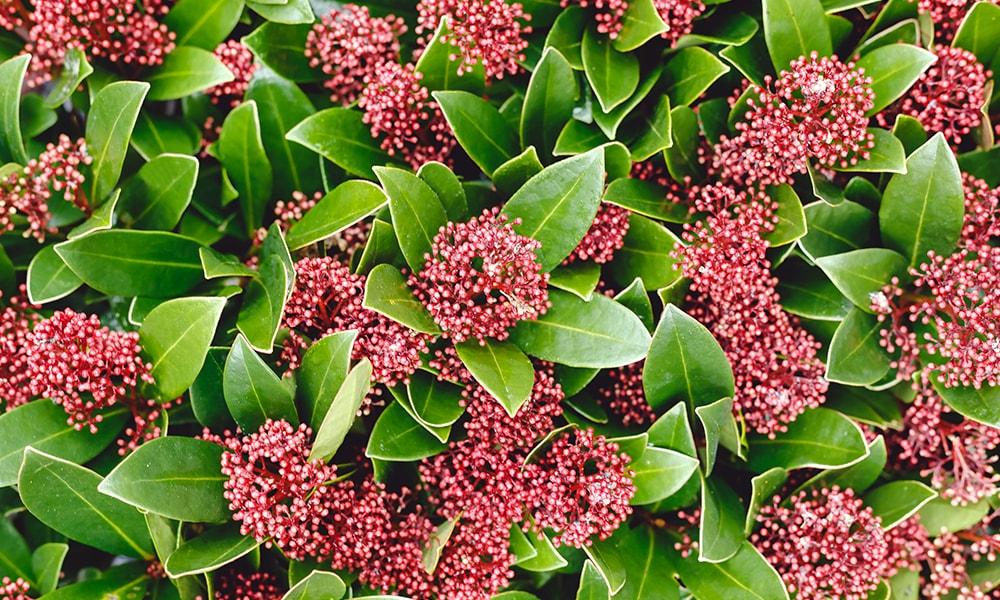 shaded plant - skimmia