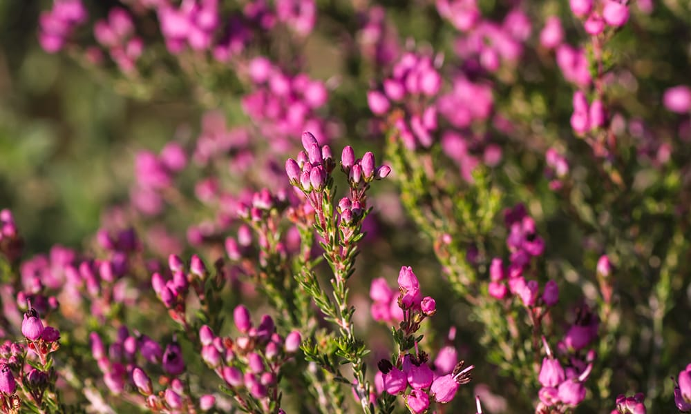 native bell heather