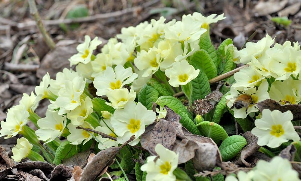 native primrose