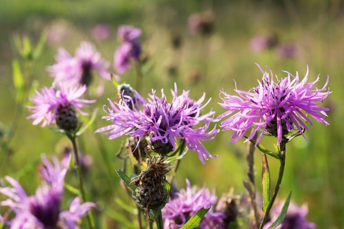 weed - common knapweed