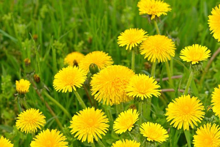 weed - dandelion