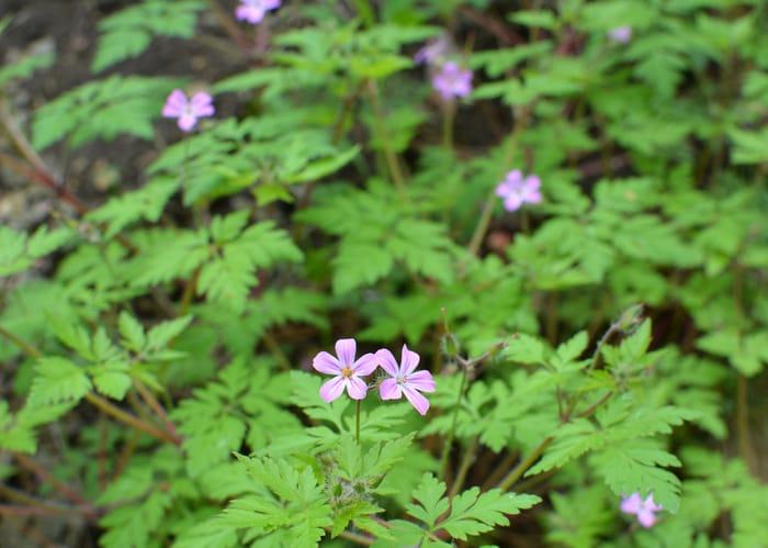 weed - herb robert