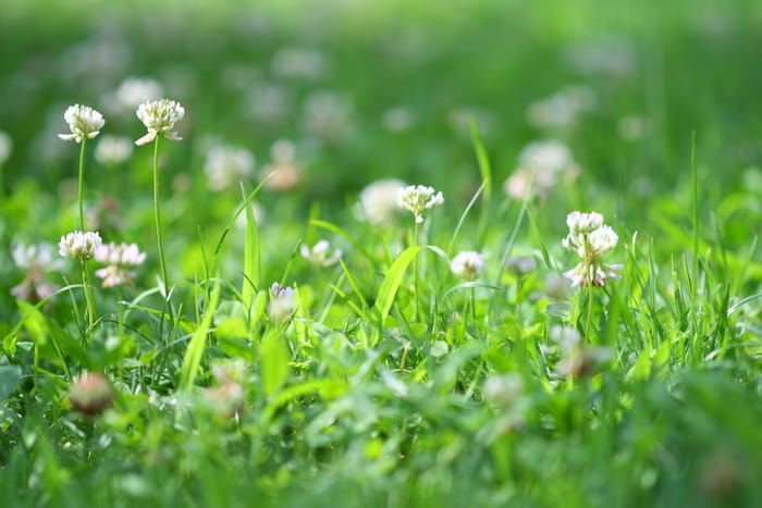 weed - white clover