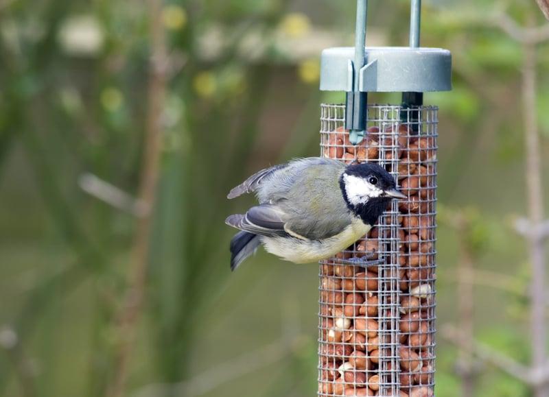 great tit-bird feeder